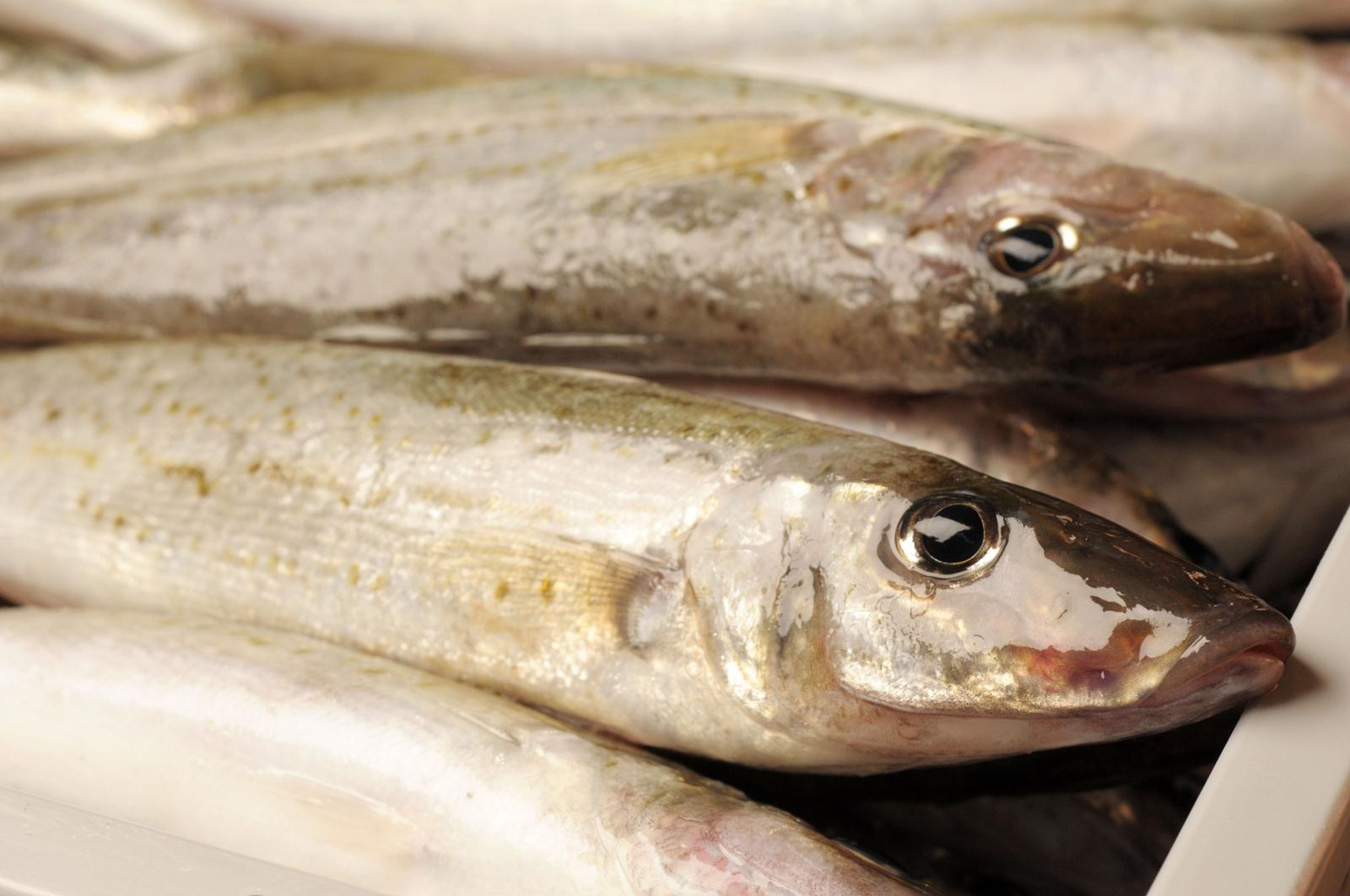 Seafood for Whiting fish fillet
